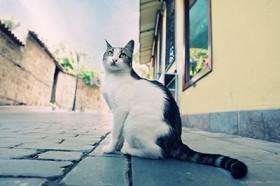Amano'nun Kedisi